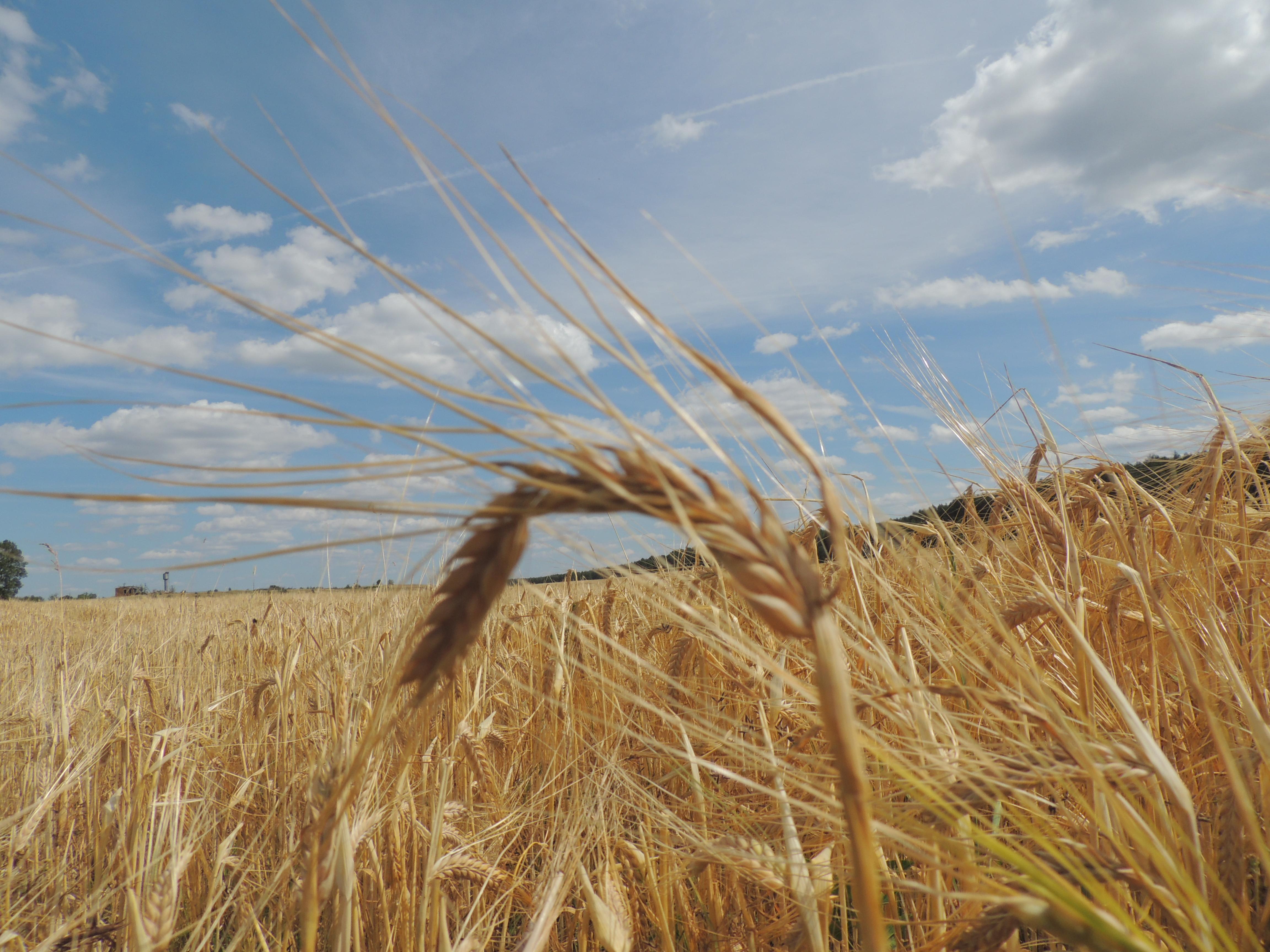 Женщина, картинки с пшеницей и коровой